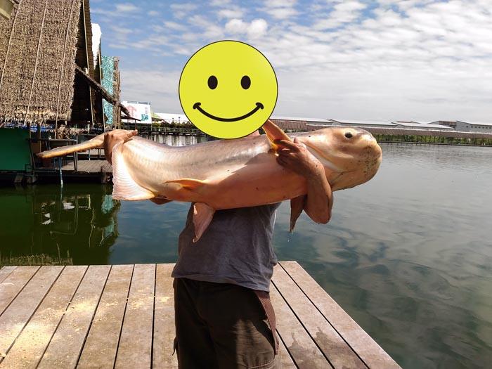 ブンサムラン 巨大魚 メコンオオナマズ